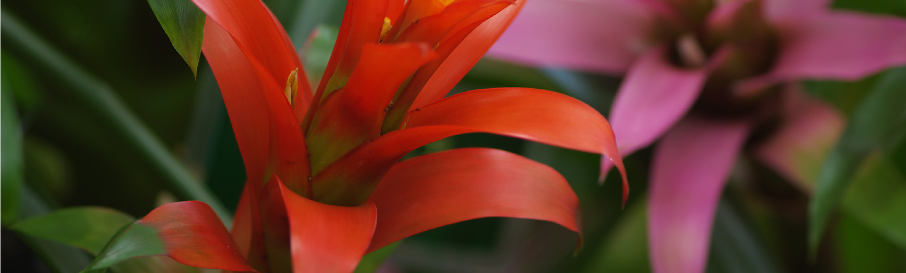 Growing Bromeliads Indoors Overview Bromeliad Plant Care