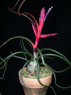 bromeliad air plants bromeliad plant care. Black Bedroom Furniture Sets. Home Design Ideas