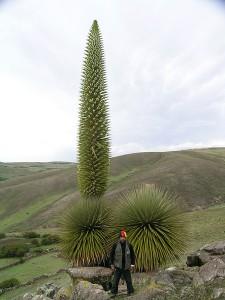 Tallest Bromeliad