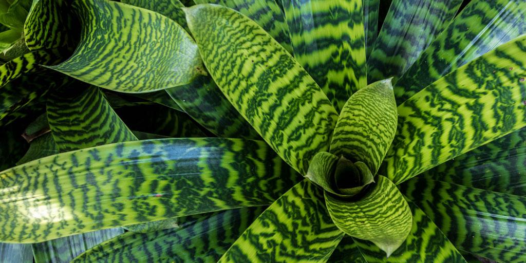 how to care for a bromeliad bromeliad plant care. Black Bedroom Furniture Sets. Home Design Ideas