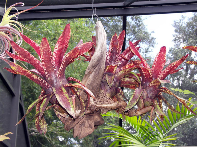 How To Mount Bromeliads The Right Way Bromeliad Plant Care