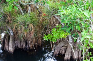 Group of Bromeliads in Florida Swamps
