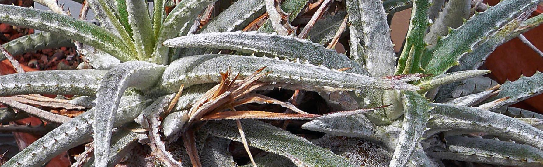Hechtia marnier lapostollei