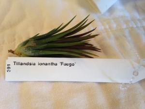 Tillandsia ionantha 'Fuego