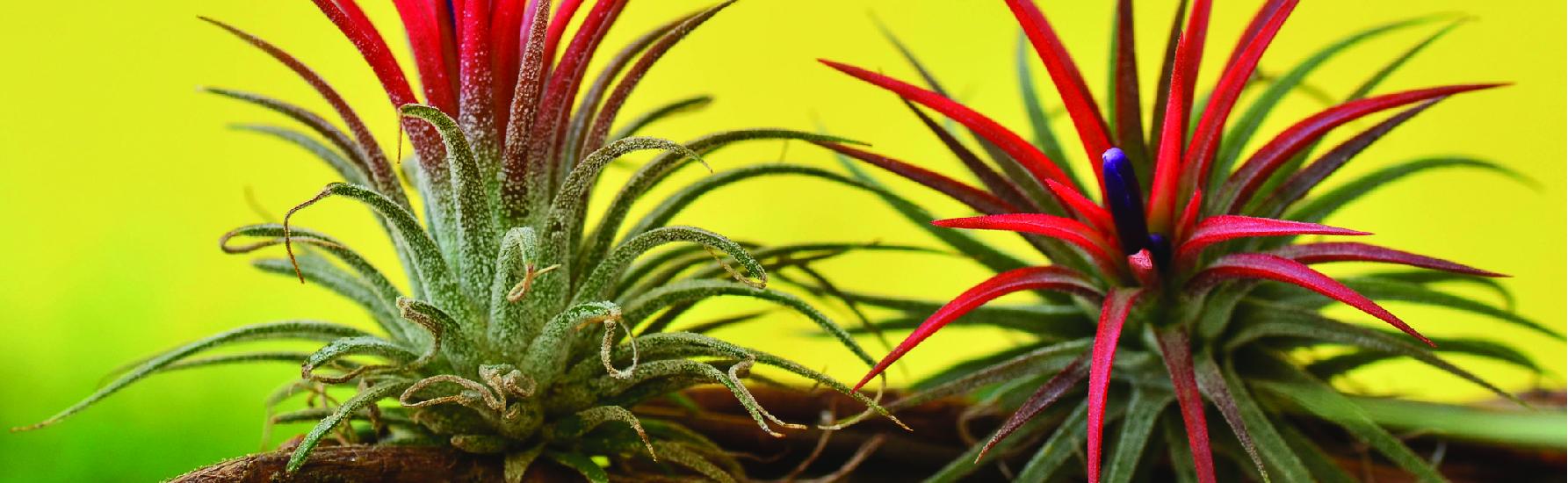 Best Bromeliads For Full Sun Bromeliadsfo