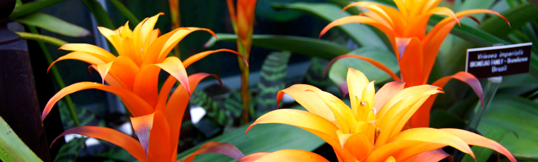 how to cut off the dead flower on a bromeliad