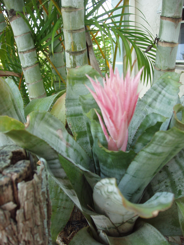 Aechmea fasciata bromeliad plant care for House plant maintenance