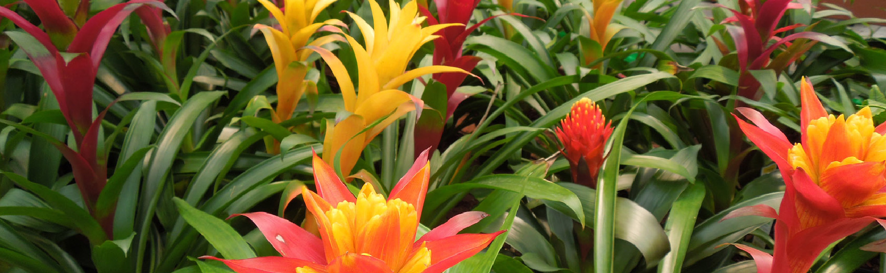 A Beginners Guide To Bromeliad Pups Bromeliad Propagation