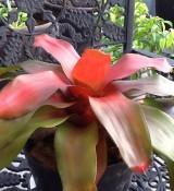 Bromeliad of the Week