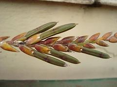Bromeliad seed pod