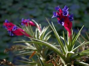 Tillandsia aeranthos